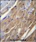 FGF16 Antibody (N-term)