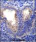 EIF5AL1 Antibody (C-term)