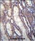 FOXA2 Antibody (C-term)