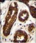 Maspin Antibody (Center)
