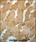 NDUFAF2 Antibody (Center)