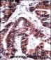 TCEB1 Antibody (C-term)
